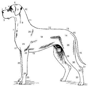 standard-dogge